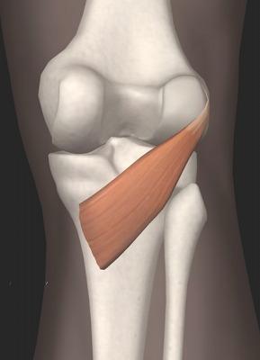 膝窩筋.bmp