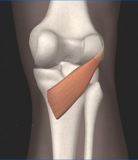 膝窩筋.jpg